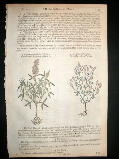 Gerards Herbal 1633 Hand Col Botanical Print. Trefoil, Spanish Hare-Foot | Albion Prints